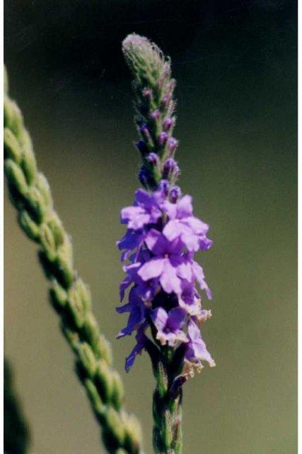 http://plants.usda.gov/gallery/large/vest_002_lvp.jpg