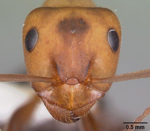 http://www.antweb.org/description.do?genus=formica&name=obscuriventris&rank=species