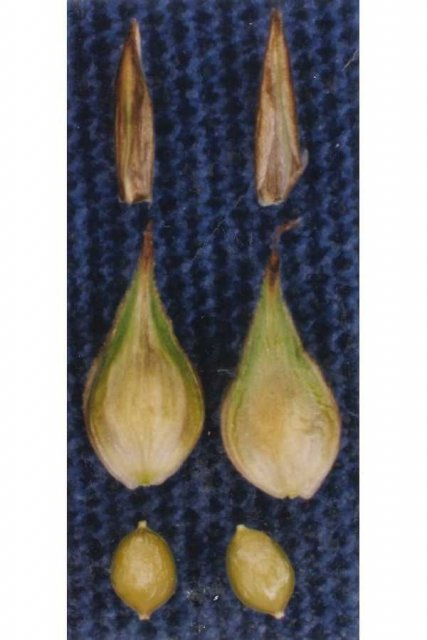 http://plants.usda.gov/gallery/large/capa14_002_lvp.jpg