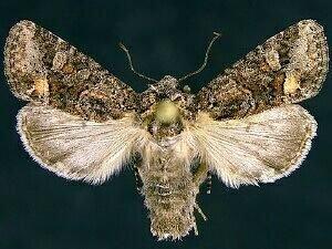 http://mothphotographersgroup.msstate.edu/species.php?hodges=10409