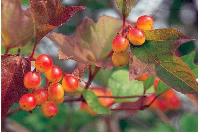 http://plants.usda.gov/java/largeImage?imageID=vitr8_004_ahp.tif