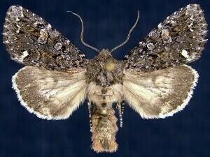 http://mothphotographersgroup.msstate.edu/species.php?hodges=10294