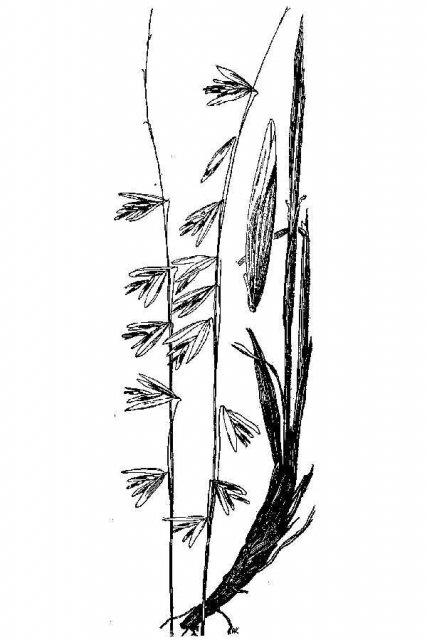 http://plants.usda.gov/java/largeImage?imageID=mest_001_avd.tif