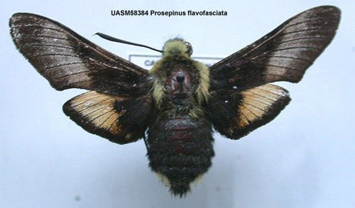 http://www.boldsystems.org/views/taxbrowser.php?taxon=Proserpinus+flavofasciata