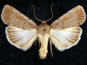 http://mothphotographersgroup.msstate.edu/species.php?hodges=10977