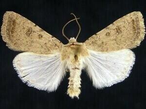 http://mothphotographersgroup.msstate.edu/species.php?hodges=9656