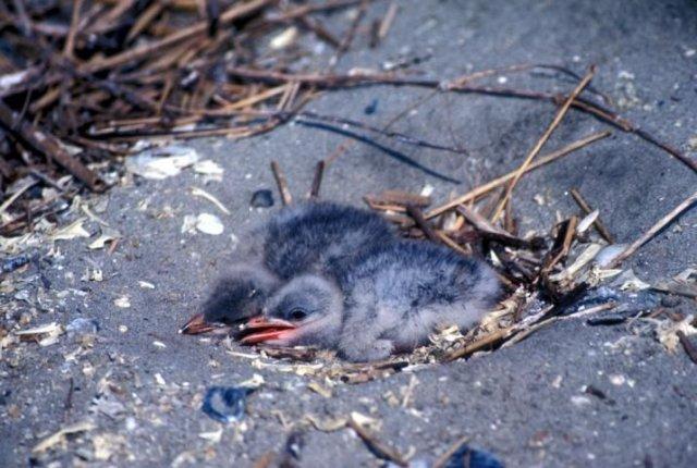 http://animaldiversity.ummz.umich.edu/site/resources/usfws/caspianternnestlings.jpg/medium.jpg