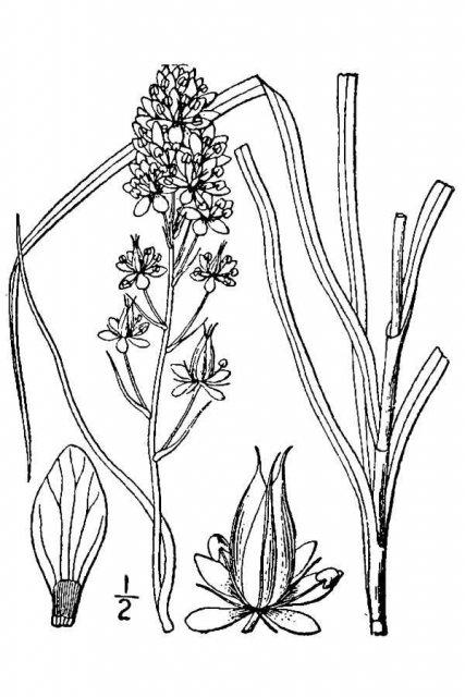 http://plants.usda.gov/java/largeImage?imageID=togr3_001_avd.tif