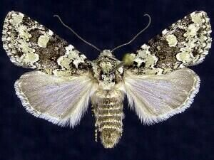 http://mothphotographersgroup.msstate.edu/species.php?hodges=10415
