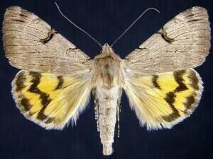 http://mothphotographersgroup.msstate.edu/species.php?hodges=8626