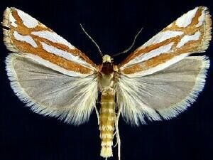 http://mothphotographersgroup.msstate.edu/species.php?hodges=3014