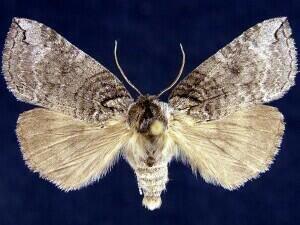 http://mothphotographersgroup.msstate.edu/species.php?hodges=6241
