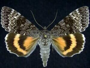 http://mothphotographersgroup.msstate.edu/species.php?hodges=8818