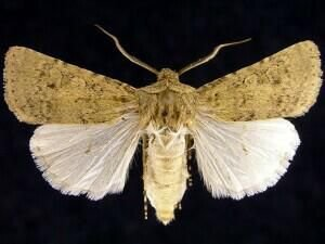 http://mothphotographersgroup.msstate.edu/species.php?hodges=10774