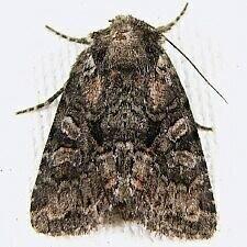 http://mothphotographersgroup.msstate.edu/species.php?hodges=10288