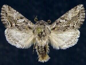 http://mothphotographersgroup.msstate.edu/species.php?hodges=10002