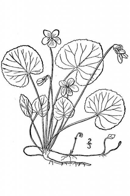 http://plants.usda.gov/java/largeImage?imageID=vipa8_001_avd.tif