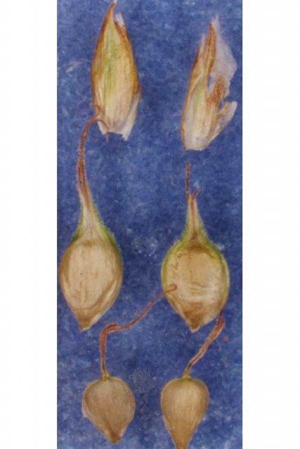 http://plants.usda.gov/gallery/large/caoc2_002_lvp.jpg