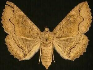 http://mothphotographersgroup.msstate.edu/species.php?hodges=8711