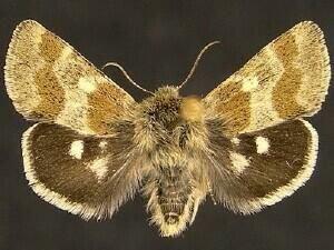 http://mothphotographersgroup.msstate.edu/species.php?hodges=11083