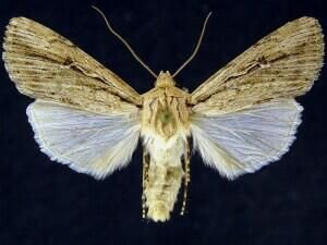http://mothphotographersgroup.msstate.edu/species.php?hodges=10892