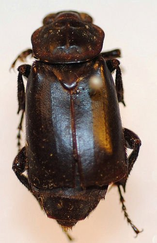 http://www.flickr.com/photos/nhm_beetle_id/4995878002/