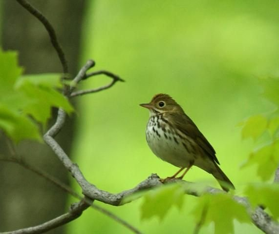 http://animaldiversity.ummz.umich.edu/site/resources/phil_myers/ADW_birds_3_4_03/ovenbird4378.jpg/medium.jpg