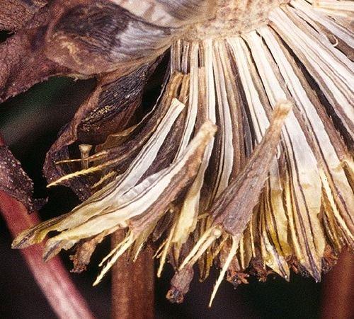 http://www.bioimages.org.uk/vfg/MWSt/MinDSDII/1971/71-10/71-10-02/71J02BidCer2b.jpg