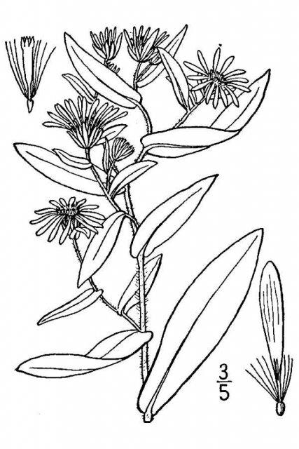 http://plants.usda.gov/java/largeImage?imageID=asph4_001_avd.tif
