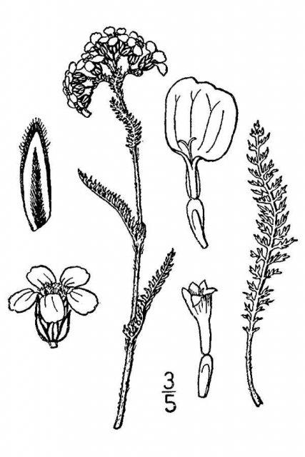 http://plants.usda.gov/java/largeImage?imageID=acbo_001_avd.tif