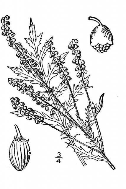 http://plants.usda.gov/java/largeImage?imageID=amel2_001_avd.tif