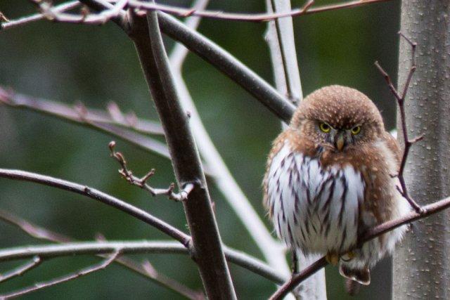 http://commons.wikimedia.org/wiki/File:Pygmy_(Glaucidium)_owl.jpg