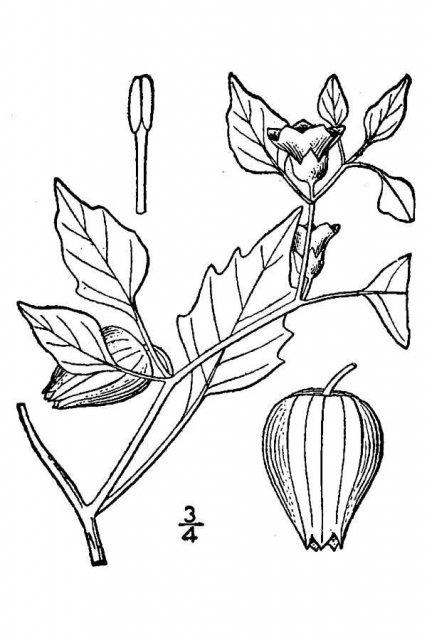 http://plants.usda.gov/java/largeImage?imageID=phix_001_avd.tif