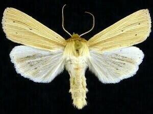 http://mothphotographersgroup.msstate.edu/species.php?hodges=10436