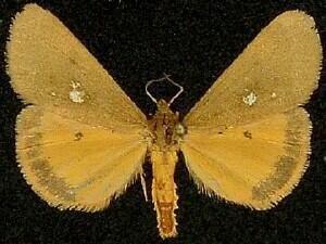http://mothphotographersgroup.msstate.edu/species.php?hodges=8125