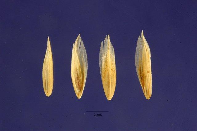 http://plants.usda.gov/java/largeImage?imageID=poep3_002_ahp.tif