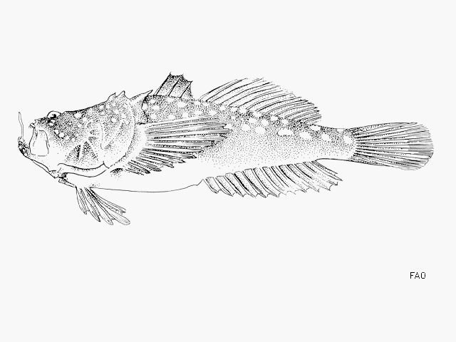 http://www.fishbase.us/images/species/Urpol_u1.gif