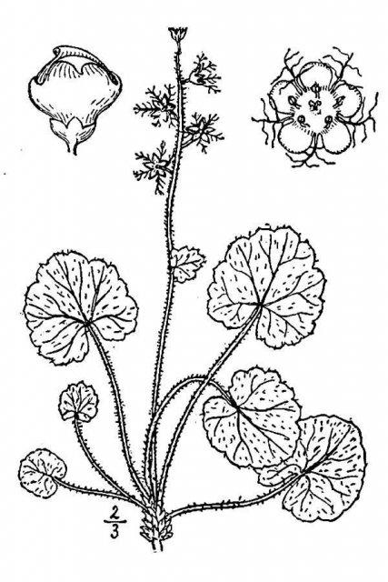 http://plants.usda.gov/java/largeImage?imageID=minu3_001_avd.tif