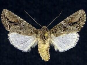 http://mothphotographersgroup.msstate.edu/species.php?hodges=10515