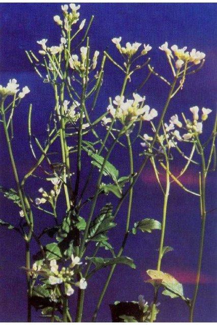 http://plants.usda.gov/java/largeImage?imageID=cabr6_001_avp.tif