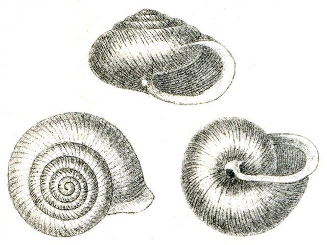 http://commons.wikimedia.org/wiki/File:VespericolaColumbExBinney.jpg