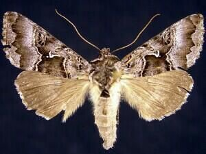 http://mothphotographersgroup.msstate.edu/species.php?hodges=8921