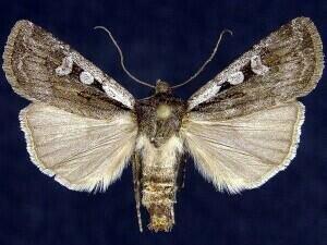http://mothphotographersgroup.msstate.edu/species.php?hodges=10826
