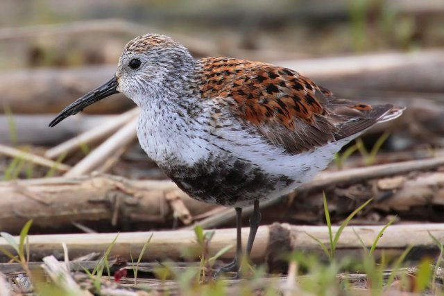 http://commons.wikimedia.org/wiki/File:Calidris-alpina-001_edit.jpg