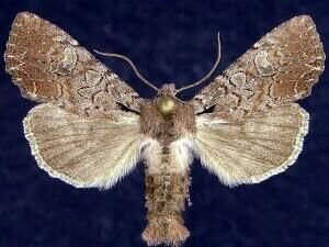 http://mothphotographersgroup.msstate.edu/species.php?hodges=10298