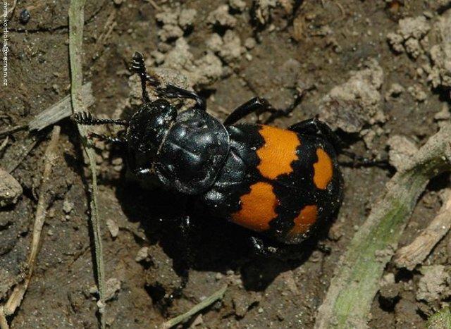 http://www.biolib.cz/en/image/id60132/