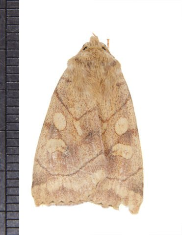 http://animaldiversity.ummz.umich.edu/collections/contributors/phil_myers/lepidoptera/Noctuidae_A-E/Enargia4807/