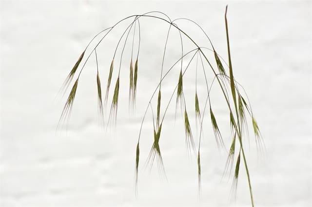 http://www.biopix.com/barren-brome-anisantha-sterilis_photo-111399.aspx