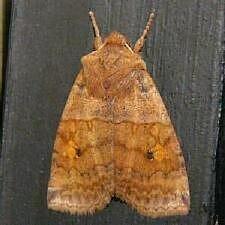http://mothphotographersgroup.msstate.edu/species.php?hodges=9935