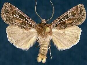 http://mothphotographersgroup.msstate.edu/species.php?hodges=10702